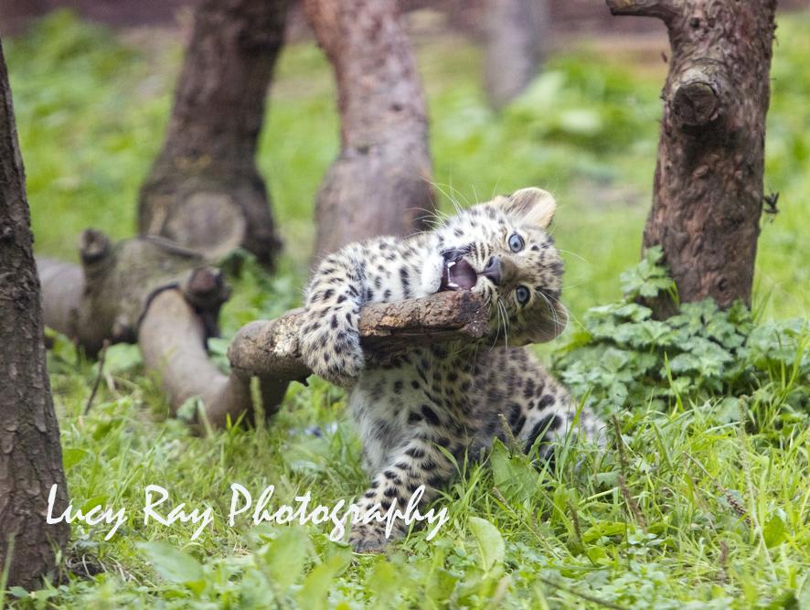 Amur leopard cubs7.jpg