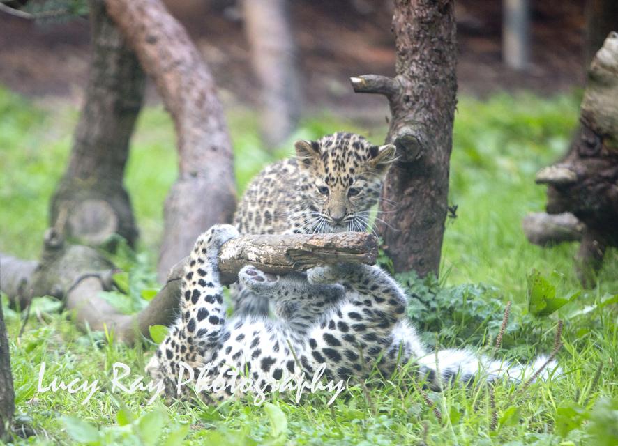 Amur leopard cubs8.jpg