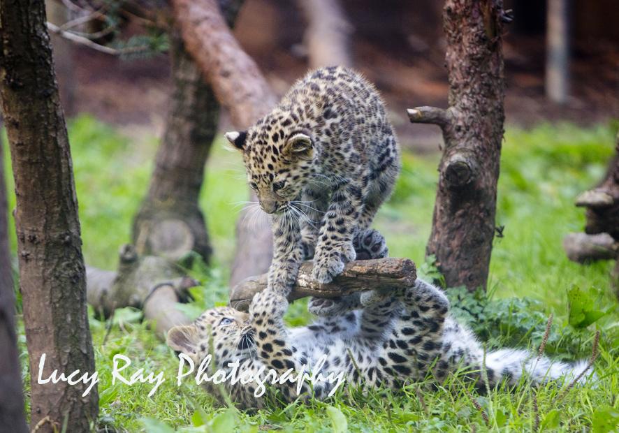Amur leopard cubs9.jpg