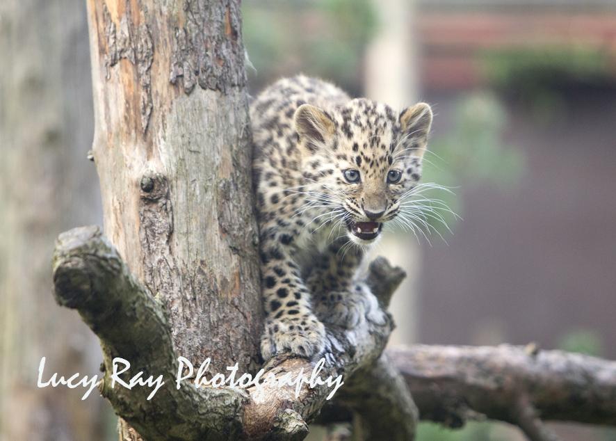 Amur leopard cubs14.jpg