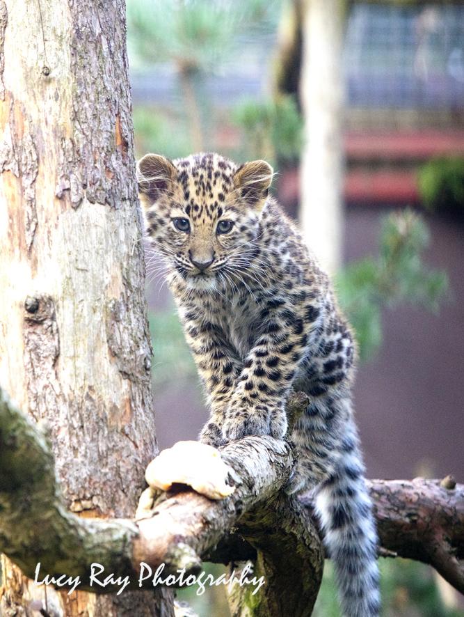 Amur leopard cubs6.jpg