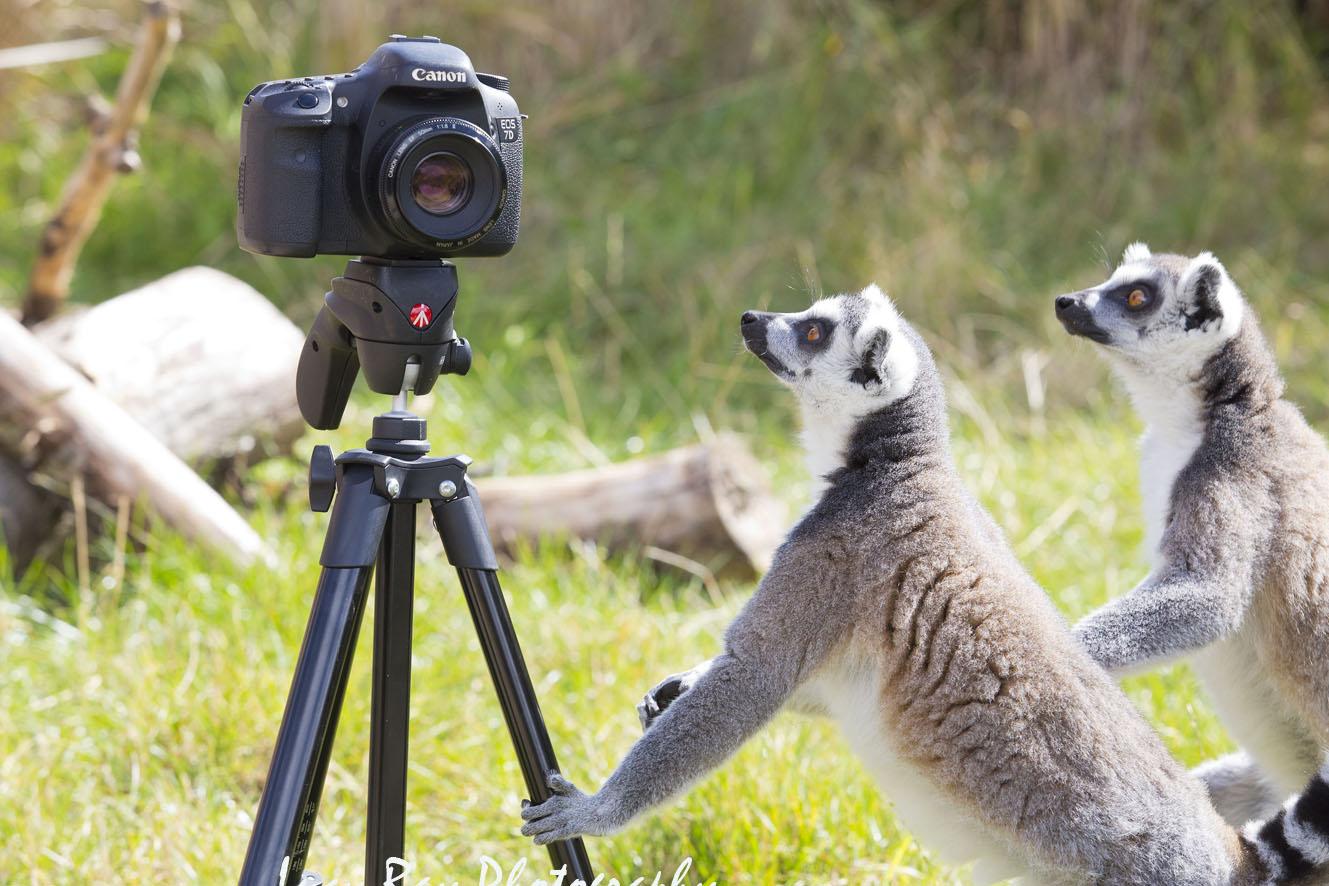 Lemur Photographer1.JPG