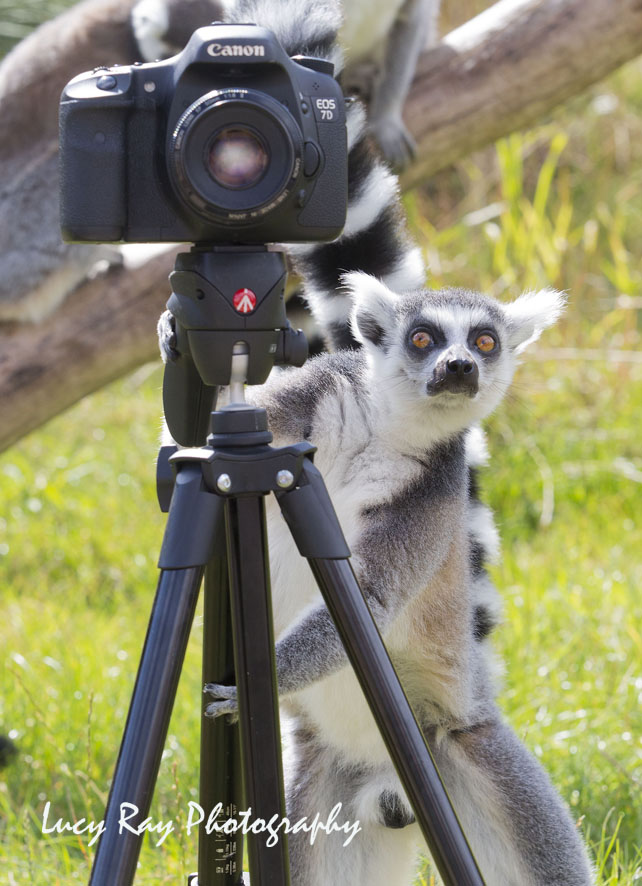 Lemur Photographer6.JPG