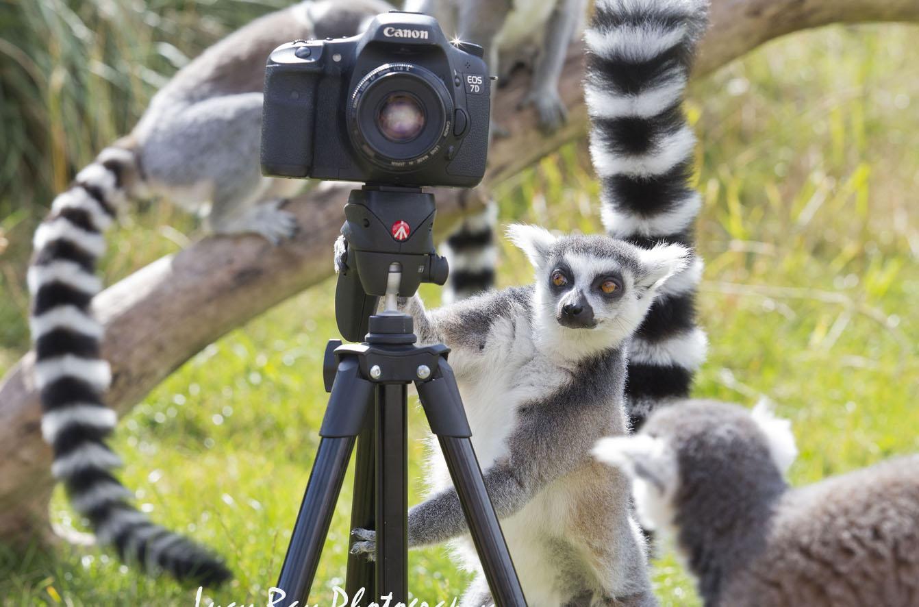 Lemur Photographer7.JPG