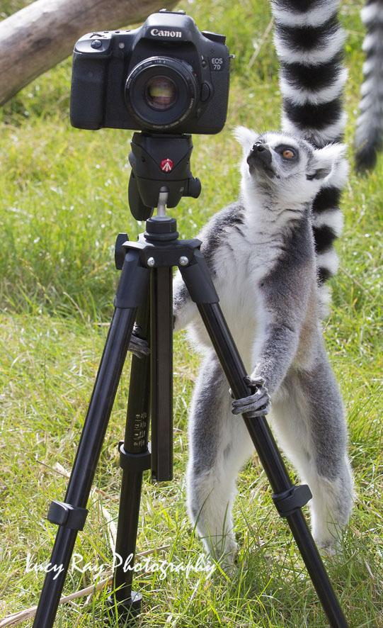 Lemur Photographer8.JPG