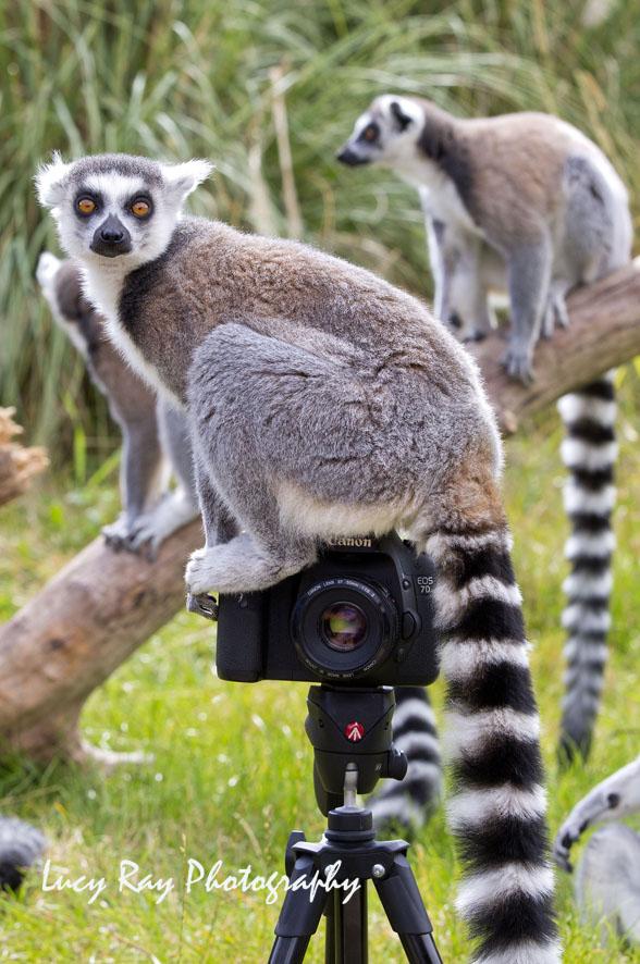 Lemur Photographer9.JPG
