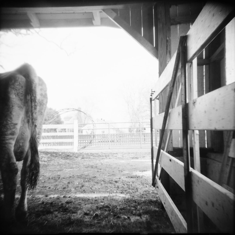 cow portrait_2.png
