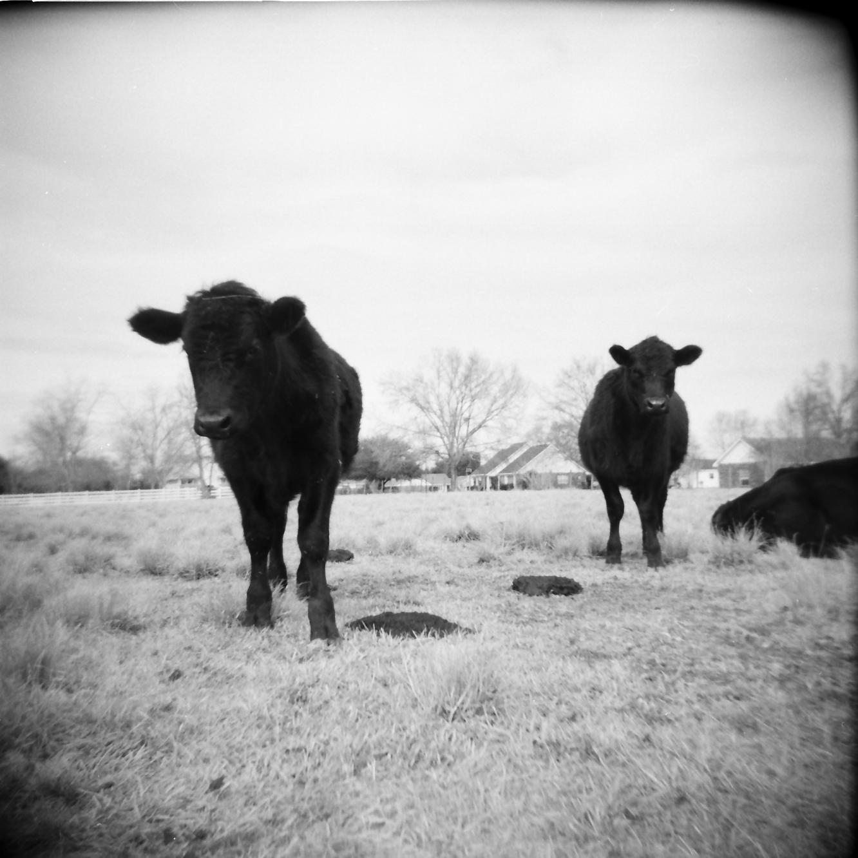 cow portrait_4.png