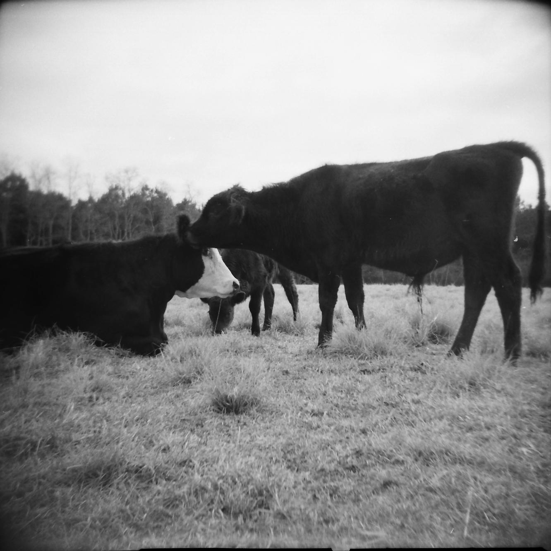 cow portrait_5.png