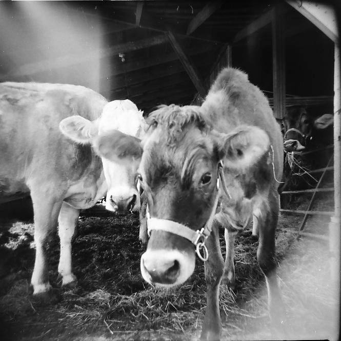 cow portrait_7.png