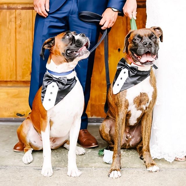 Their humans got married yesterday!  And we couldn't be more thankful to have captured it! It's our first Saturday off in a long time and I feel like somehow we've gained a whole extra day in our week. Friday weddings are AMAZING ❤️🍾🥳 #dogsatweddings