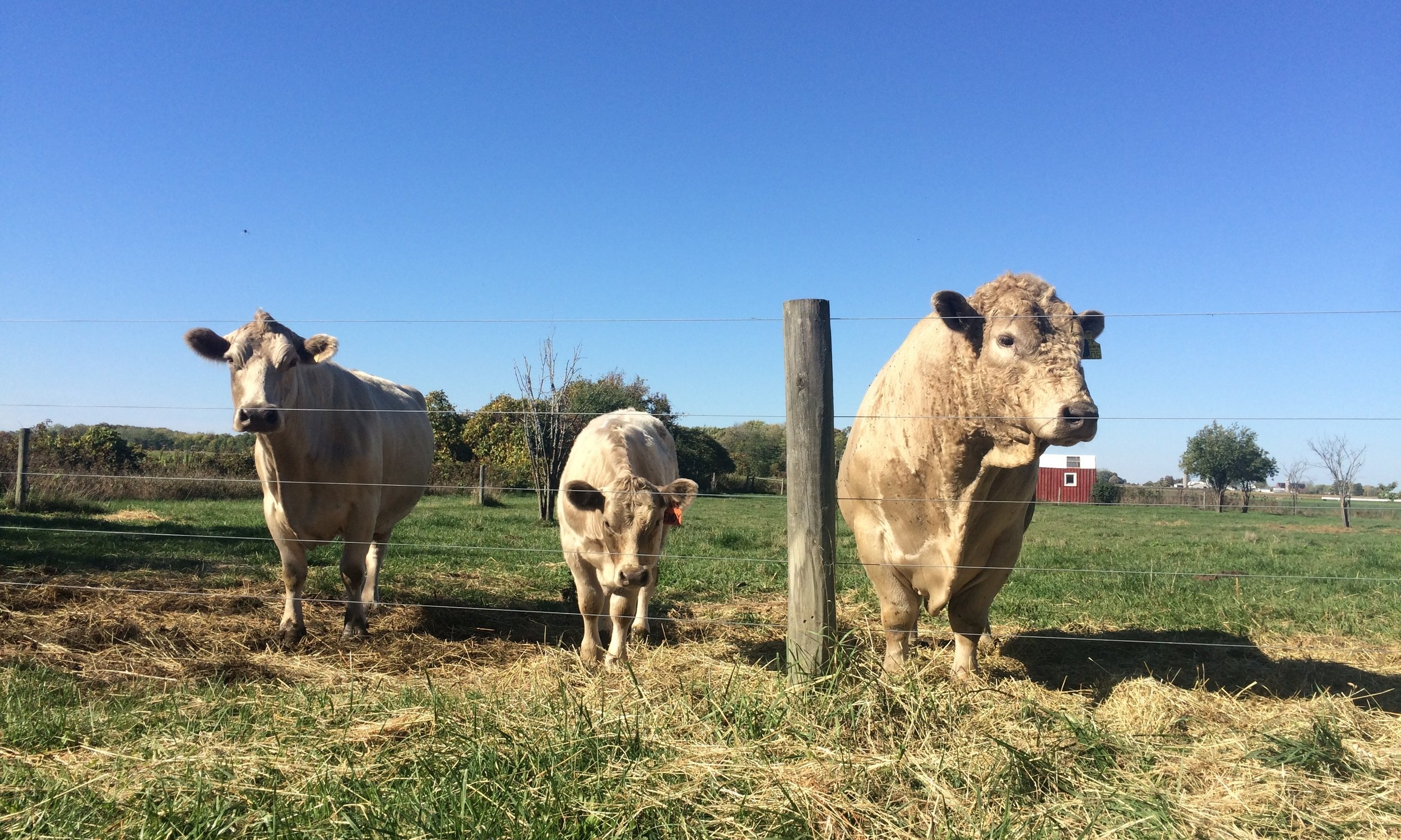 Murray Gray cattle grazing on pasture in upstate New York