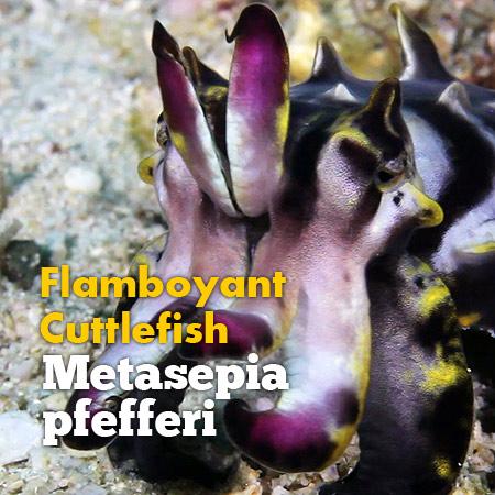 www.macronesia.net/blog/2013/8/9/flamboyant-cuttlefish-metasepia-pfefferi
