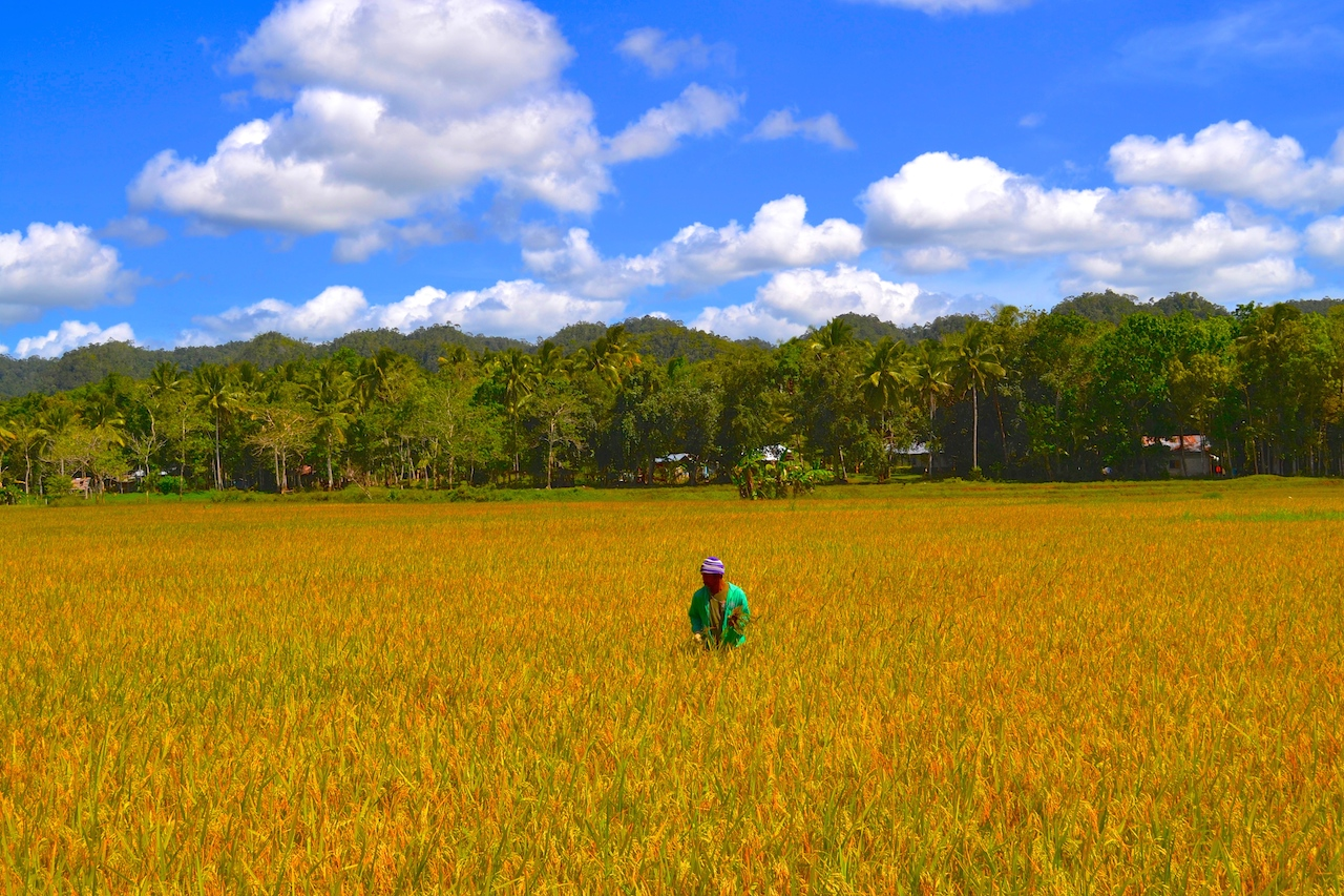 The Golden Paddy Fields of Bohol