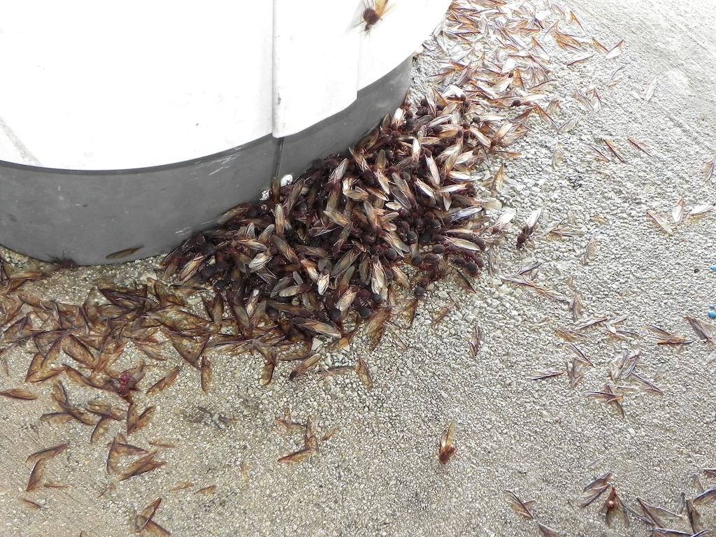 Ant invasion in La Vernia, Texas, May 2, 2013. Photo Credit: Pascalle Bippert.