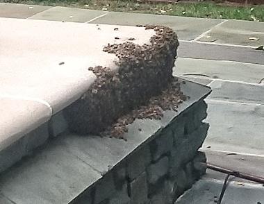 Honey bee swarm. Photo Credit: Jacques Murphy.