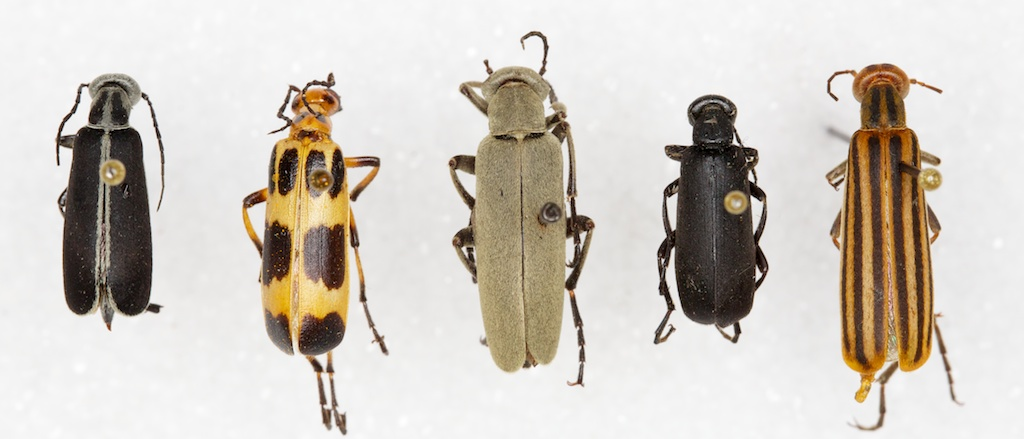 Blister beetle species common in Texas. Photo Credit: Pat Porter