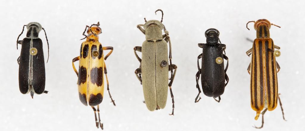 Common blister beetle species
