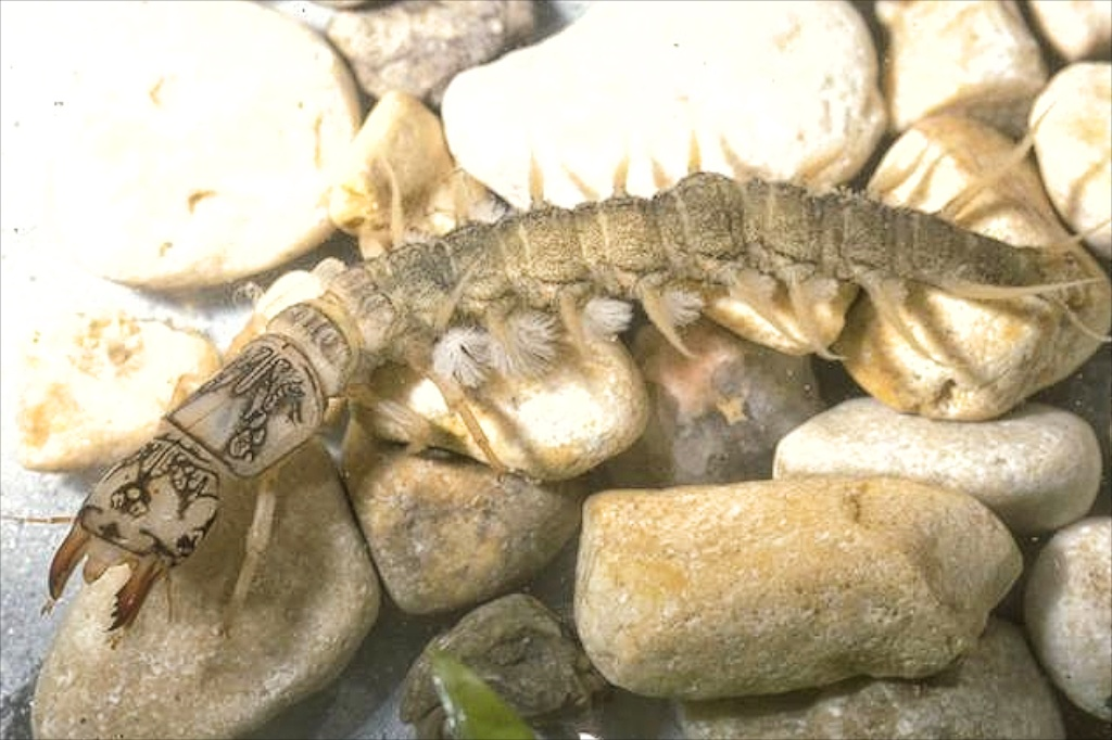 Dobsonfly larva. Photo Credit: Bart Drees, Texas A&M AgriLife Extension.