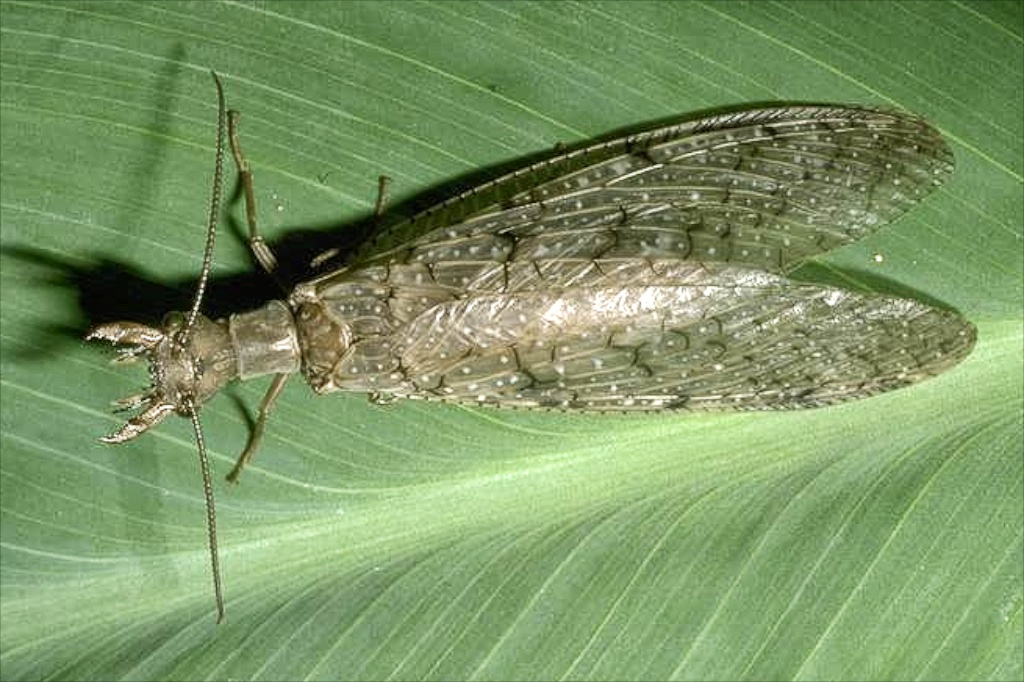 Dobsonfly adult female. Photo Credit: Bart Drees, Texas A&M AgriLife Extension.