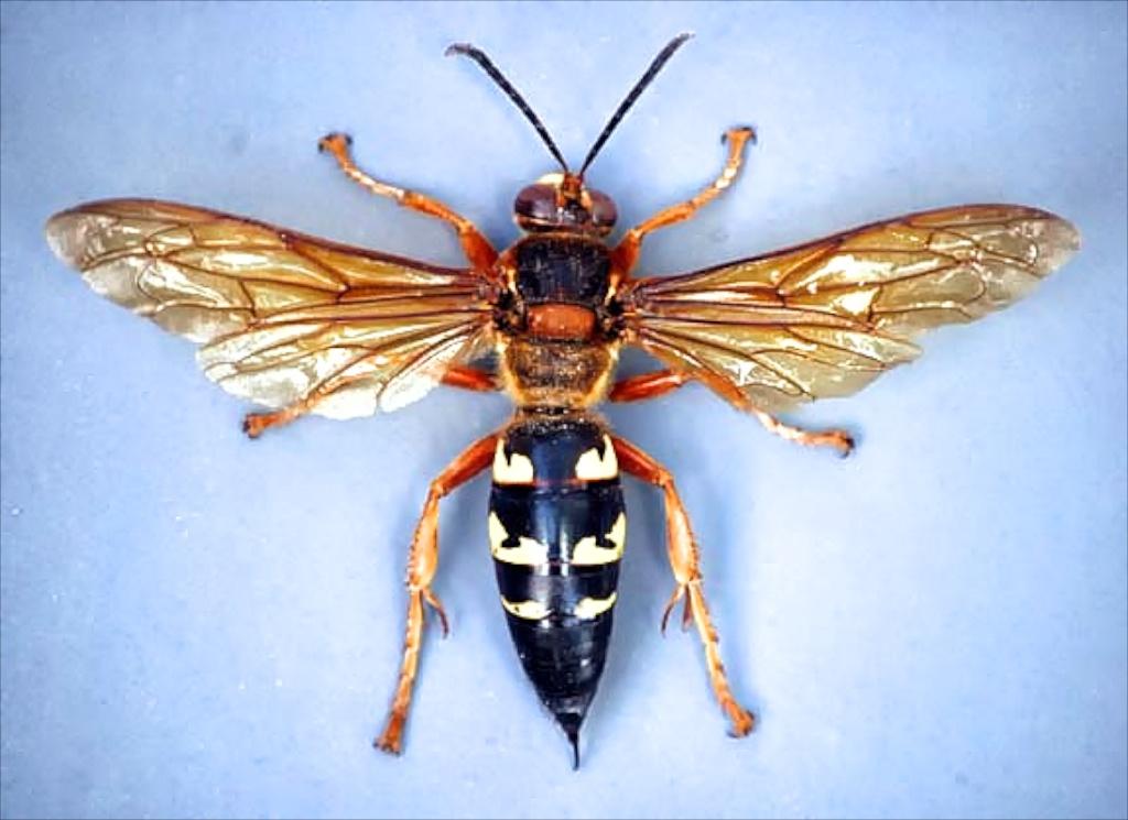 Cicada killer wasp. Photo Credit: Bart Drees, Texas A&M AgriLife Extension