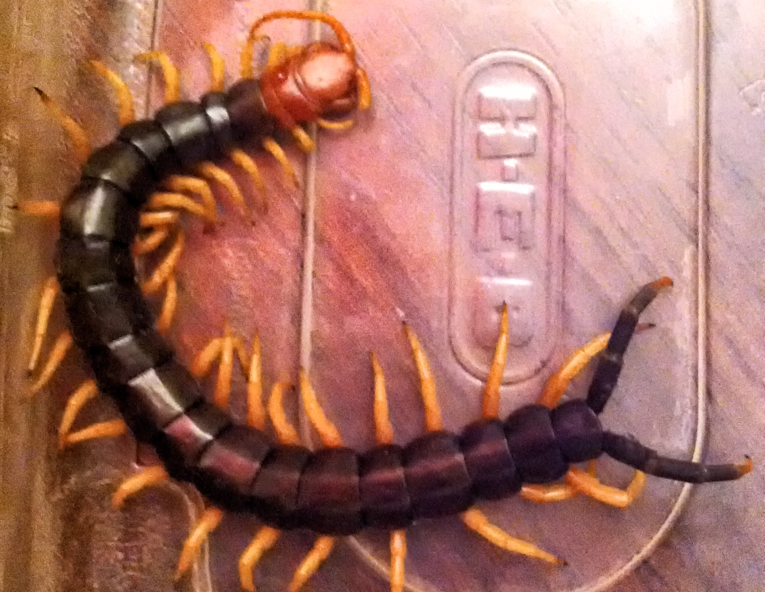 Giant redheaded centipede. Photo Credit: Michael McCullar.