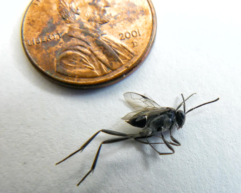Ensign wasp. Photo Credit: Micah Meyer