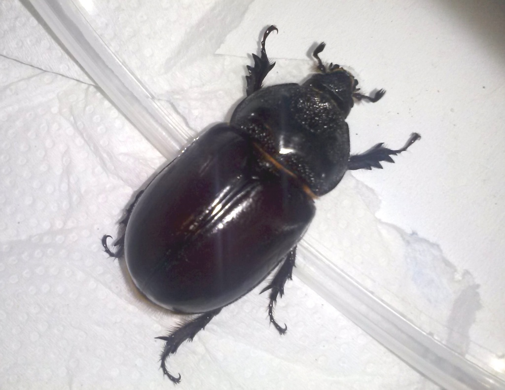 Ox beetle female