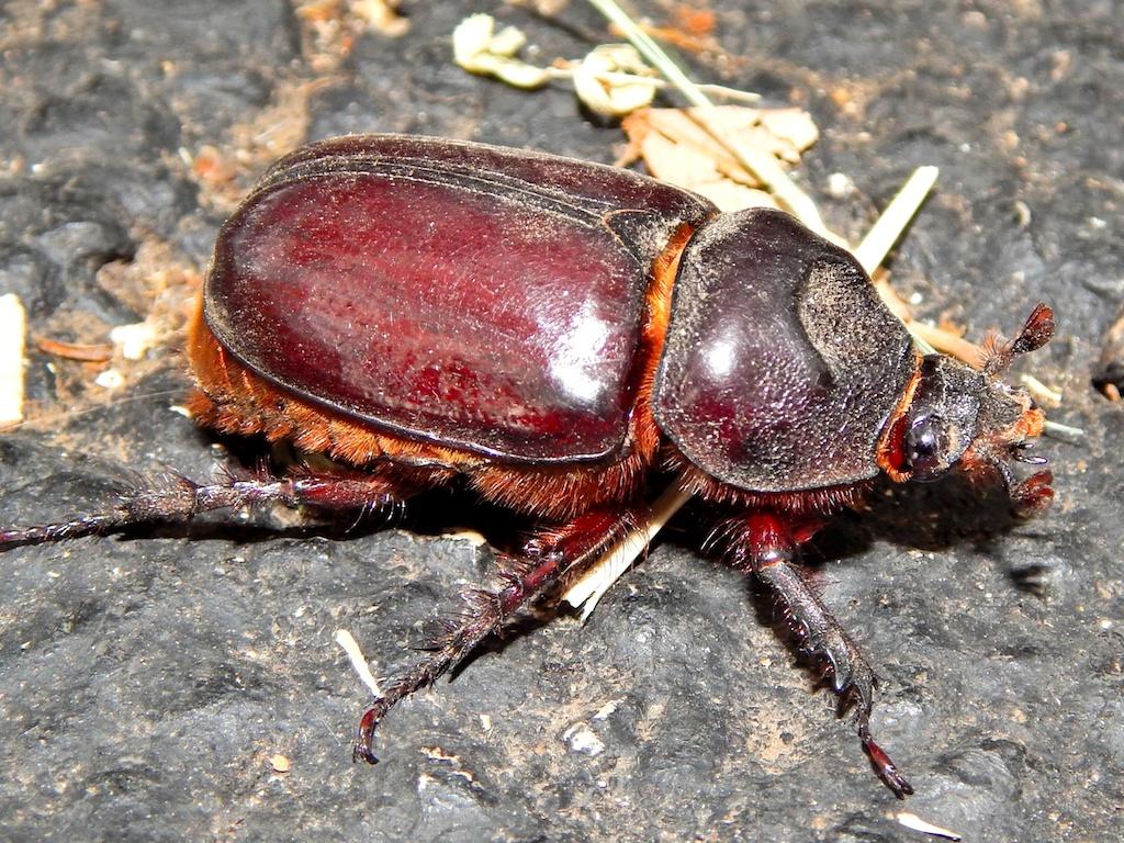 Ox beetle, or female rhinoceros beetle