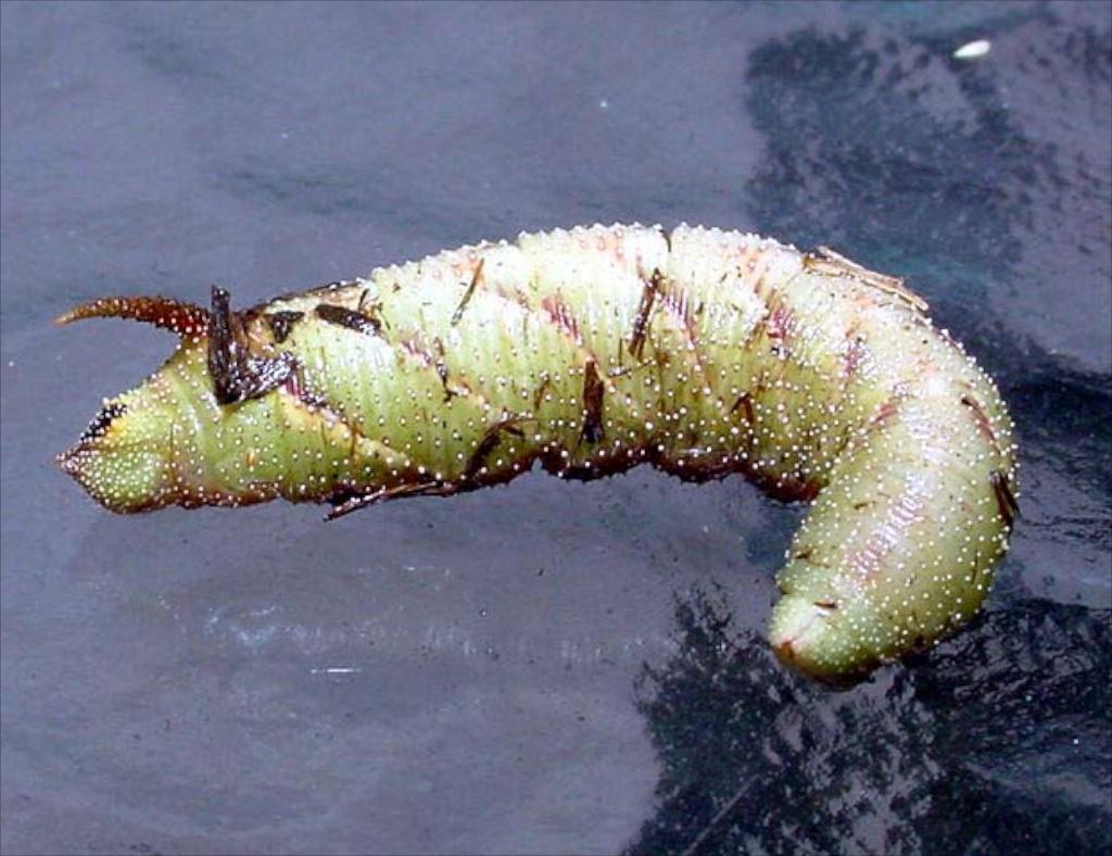 Blinded sphinx moth caterpillar