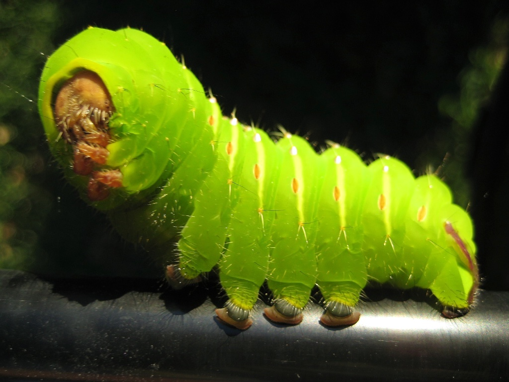 Common Caterpillars  U2014 Texas Insect Identification Tools