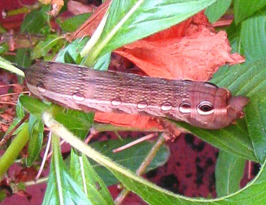 Tersa sphinx larva