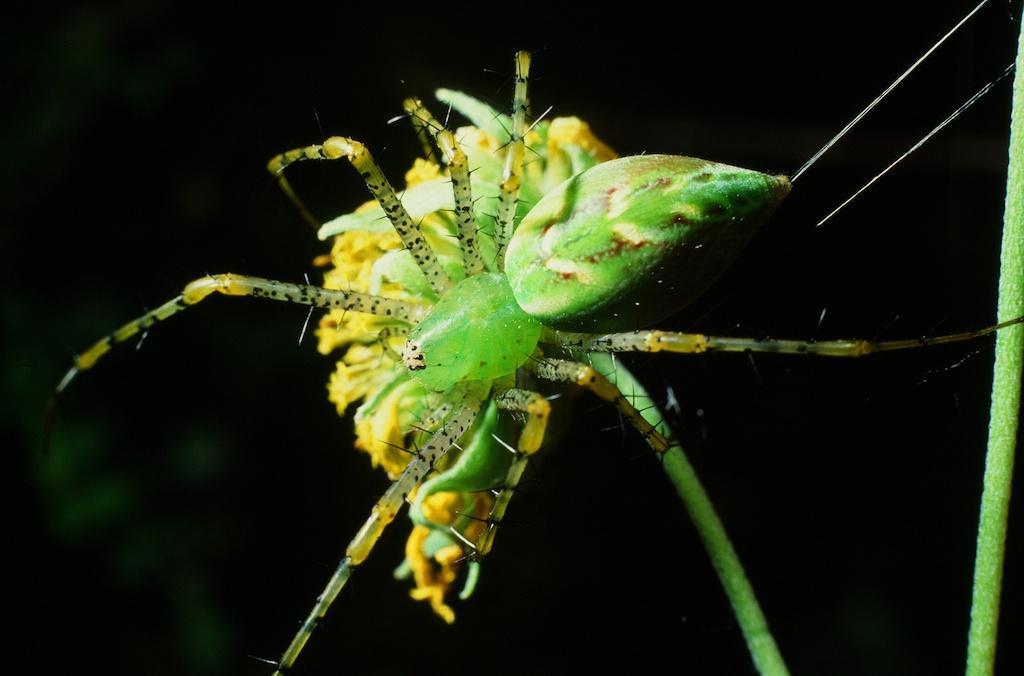 Peucetia viridans (Family Oxyopidae)