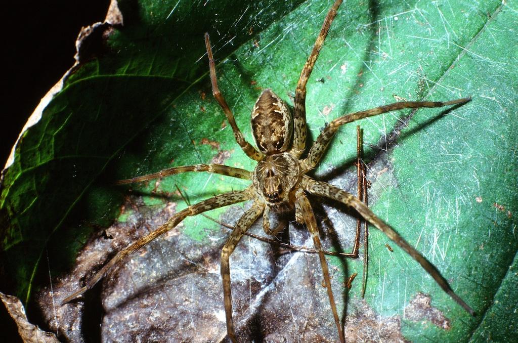 Dolomedes spp. (Family Pisauridae)