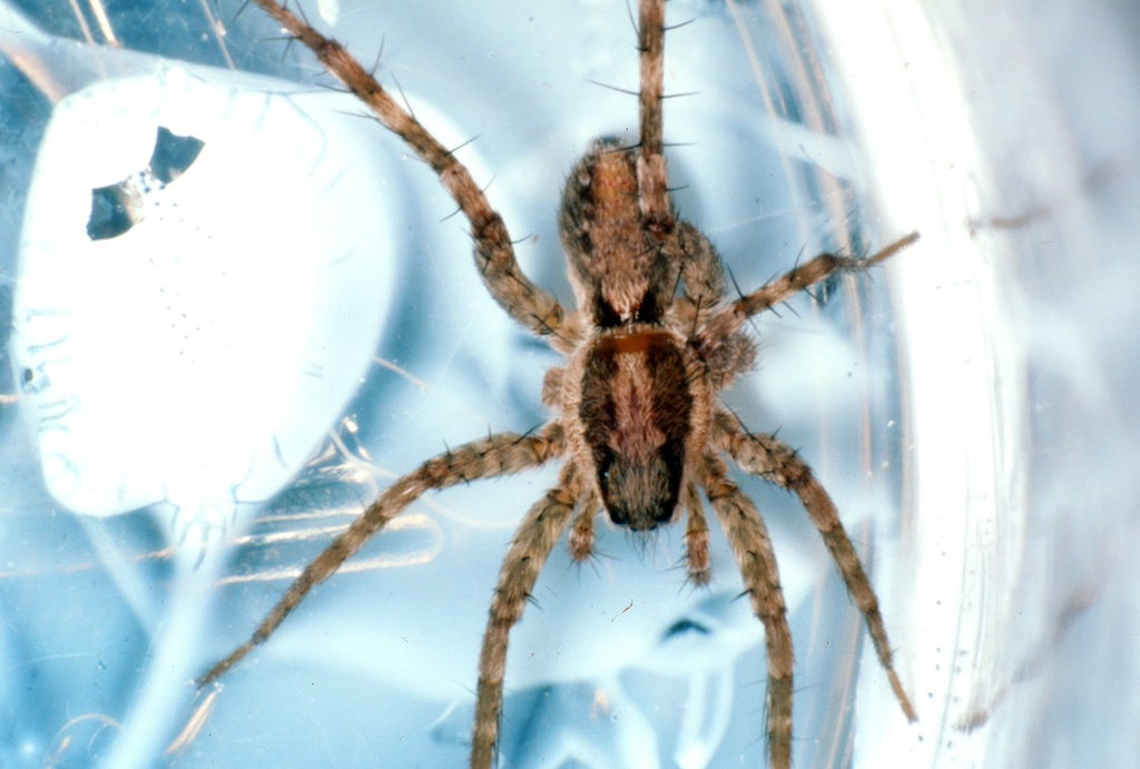 Paradosa pauxilla (Wolf spider)