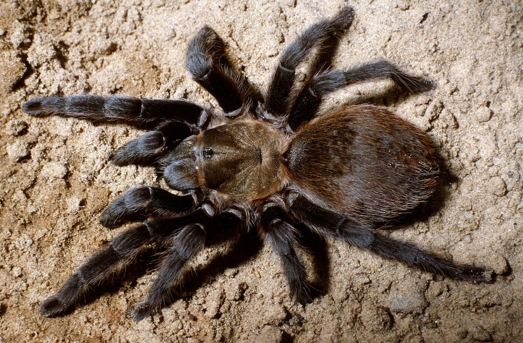 Theraphosidae aphonopelma