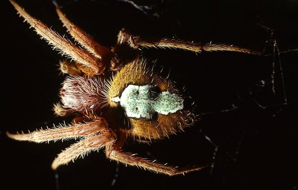 Araneus spp.