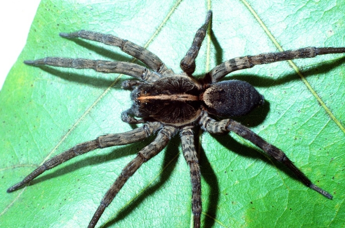Hogna carolinensis (Wolf spider)