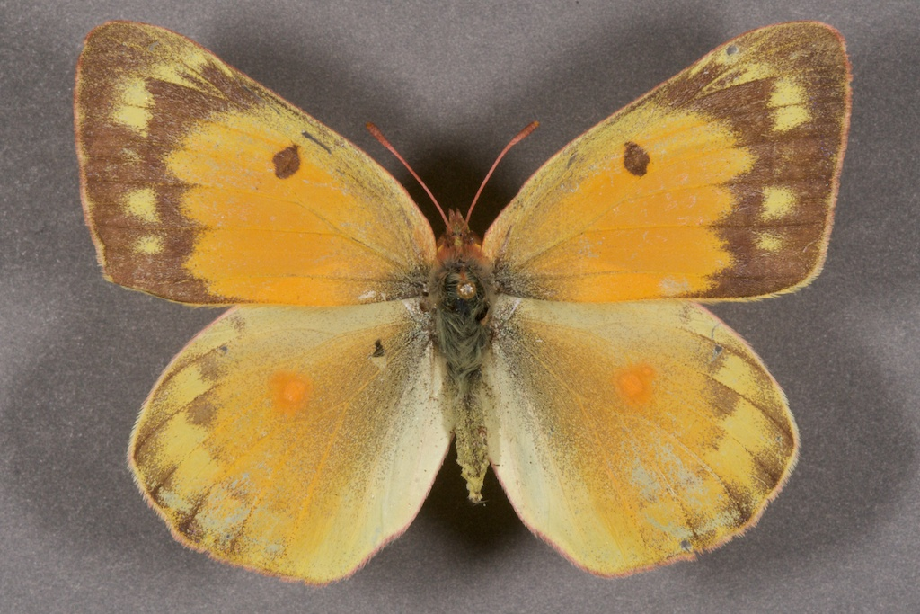 Alfalfa caterpillar