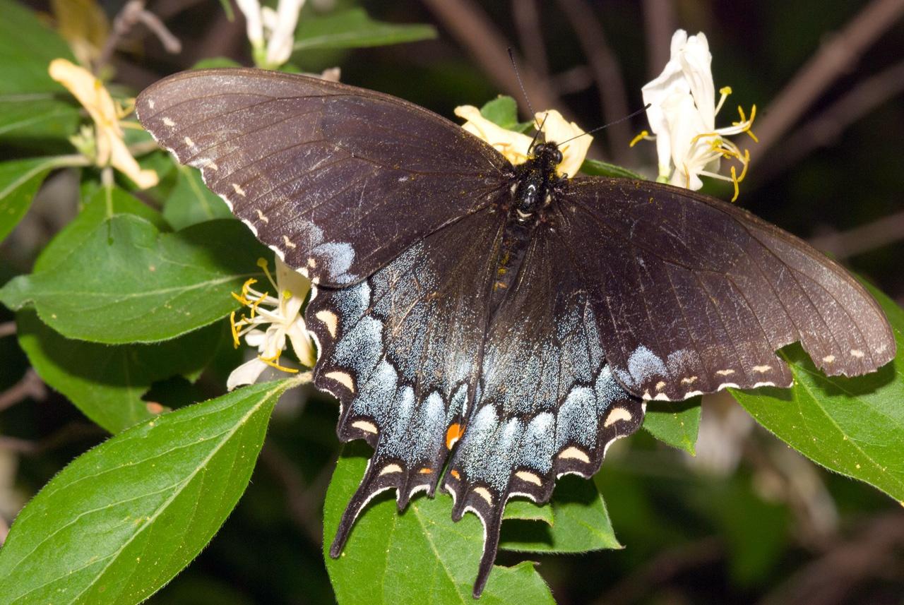 Tiger swallowtail black form