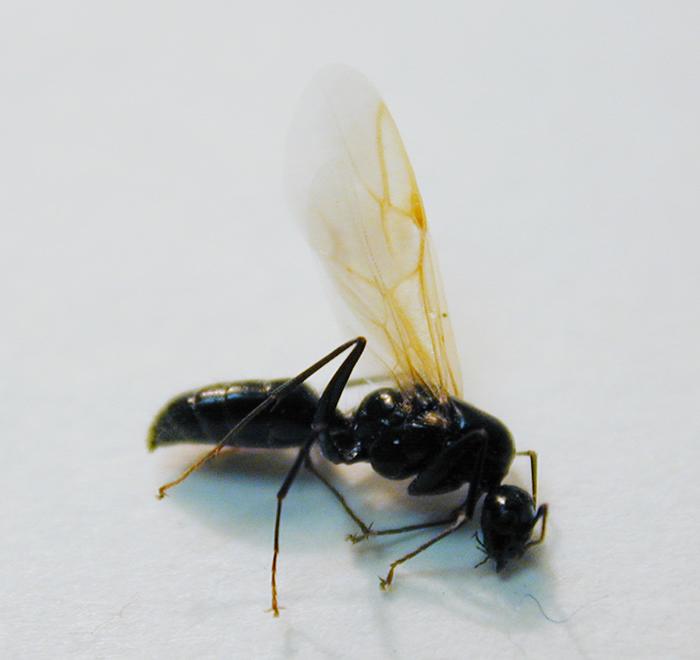 Male carpenter ant