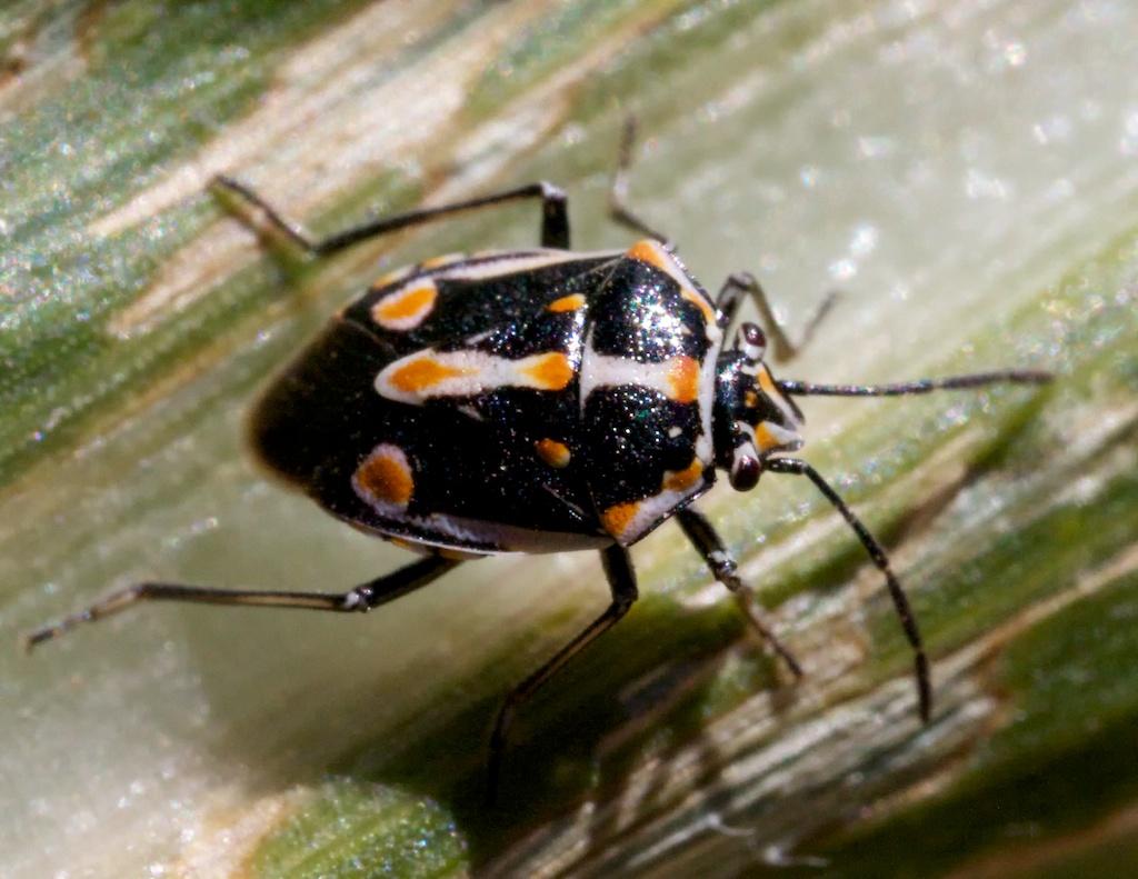 Bagrada bug. Photo credit: Patrick Porter
