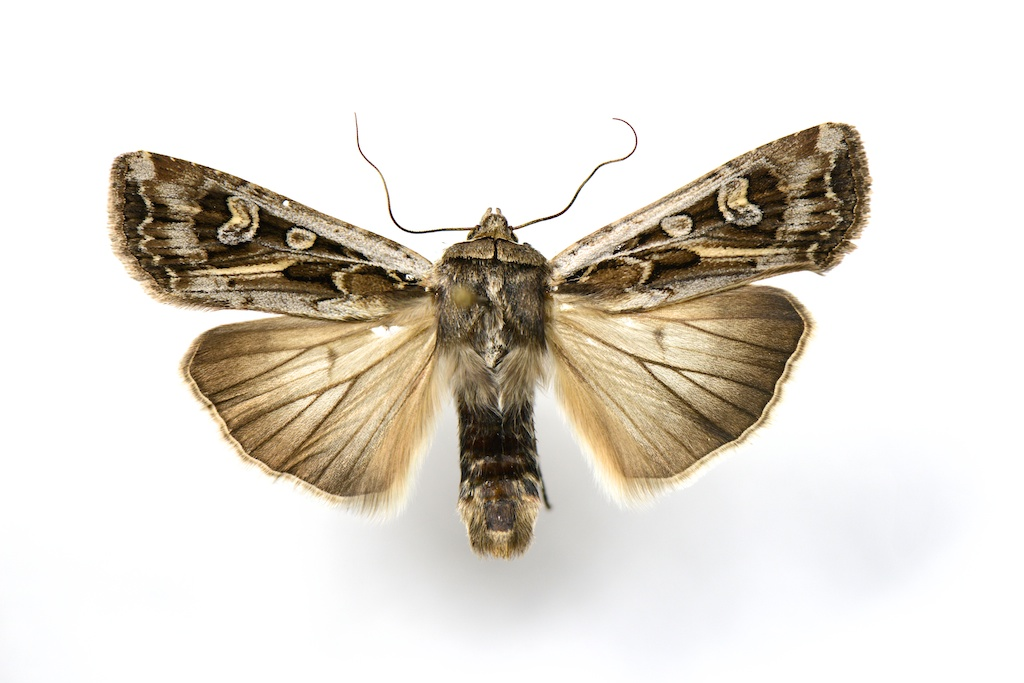 Army cutworm, also called the Miller moth