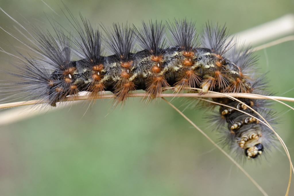 Saltmarsh caterpillar. Photo credit: Alicia Alexander.