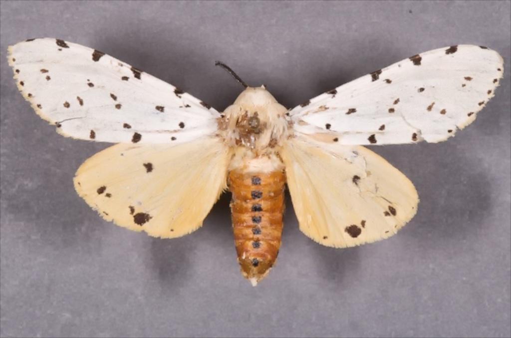 Saltmarsh caterpillar adult male. Photo credit: Patrick Porter.