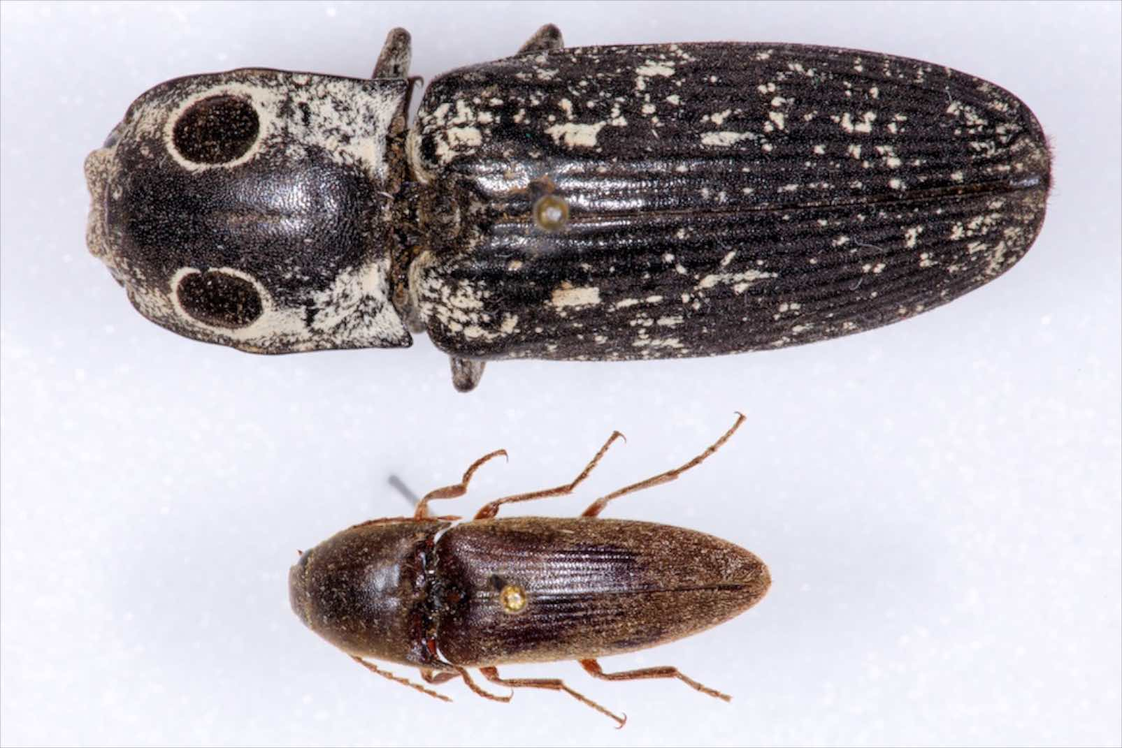 Click beetles — Texas Insect Identification Tools