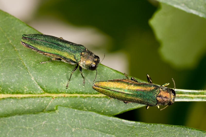 Emerald ash borer. Photo Credit Stephen Ausmus, USDA-ARS.