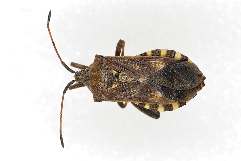 Mozena obtusa (not a kissing bug)