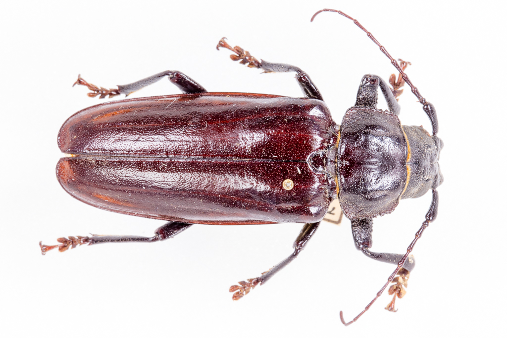 Archodontes, probably the Live Oak Root Borer
