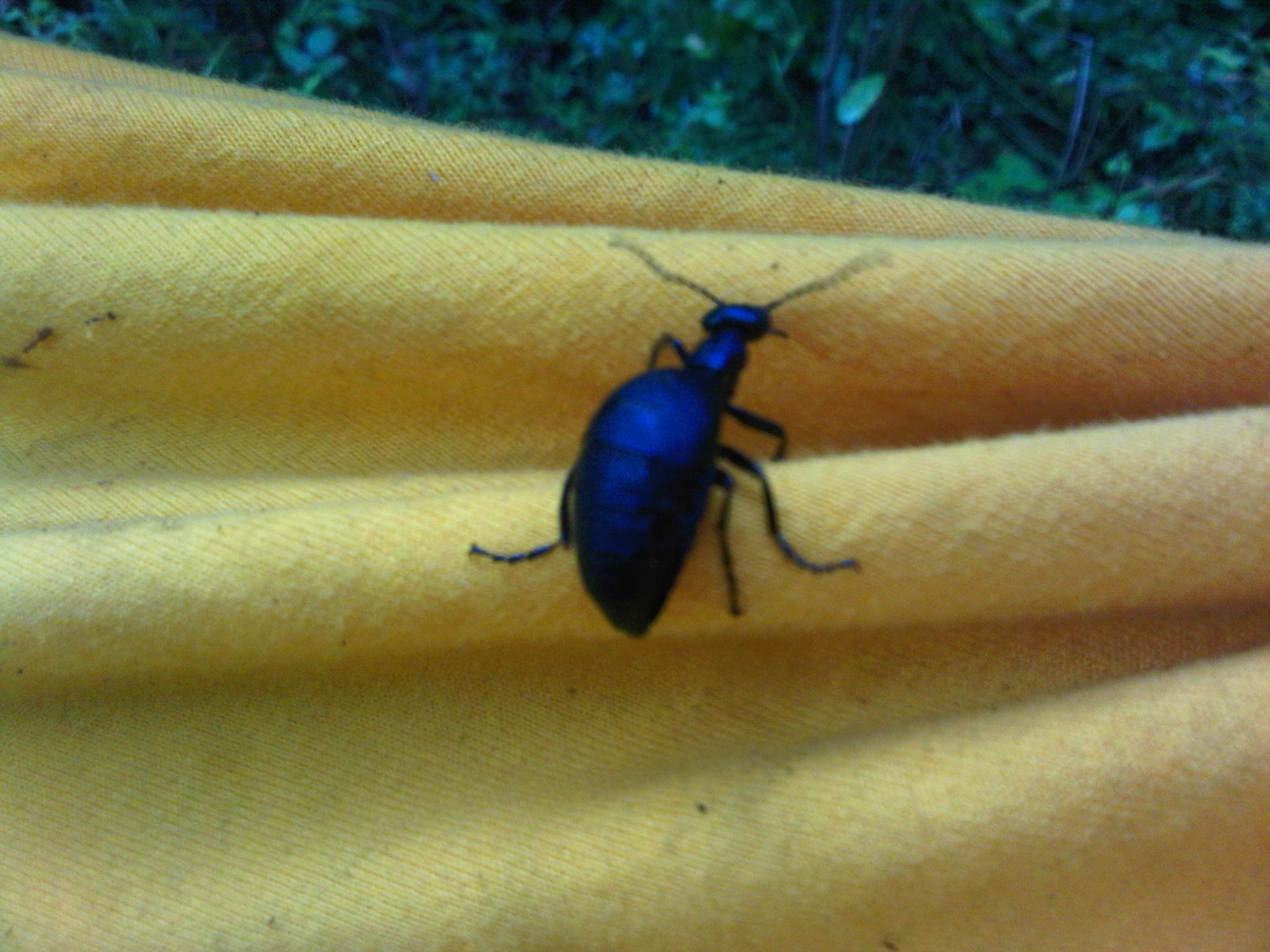 Short-wiinged blister beetle